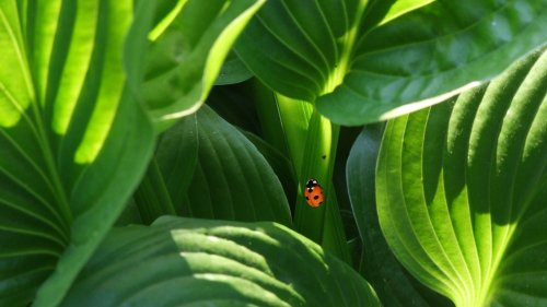Ladybug on Leaves Wallpaper
