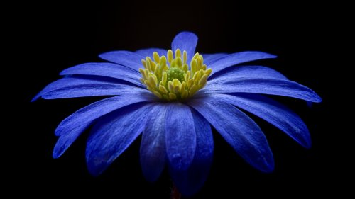 Blue Anemone HD Wallpaper