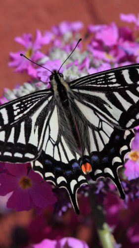 Swallowtail Butterfly Mobile Wallpaper