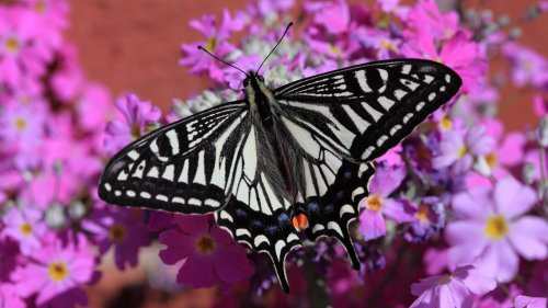 Swallowtail Butterfly HD Wallpaper