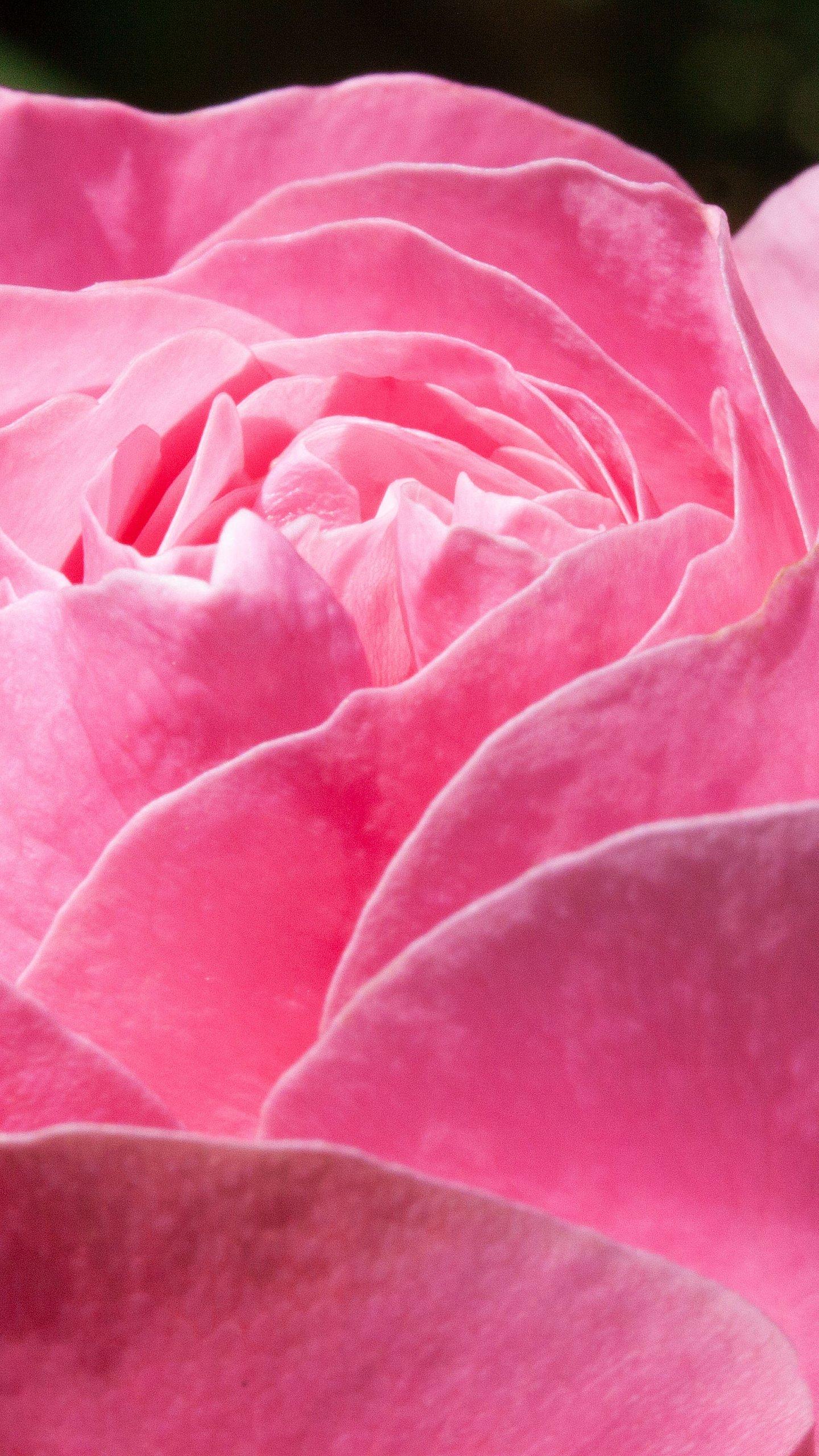 Pink rose wallpaper mobile desktop background - Pink rose black background wallpaper ...