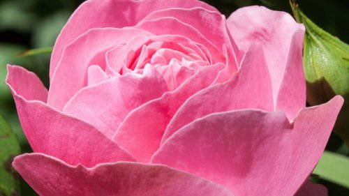 Pink Rose HD Wallpaper