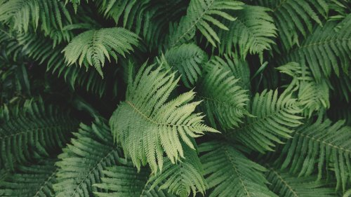 Ferns HD Wallpaper