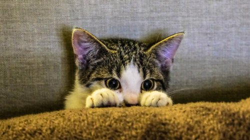 Kitten Peeking HD Wallpaper