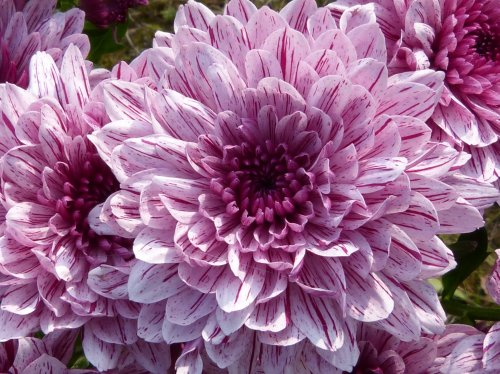 Purple Blooming Dahlia  Wallpaper