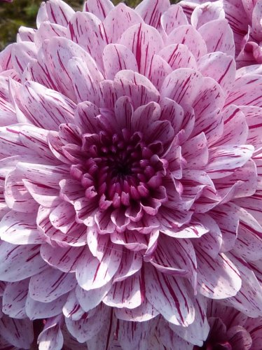 Purple Blooming Dahlia