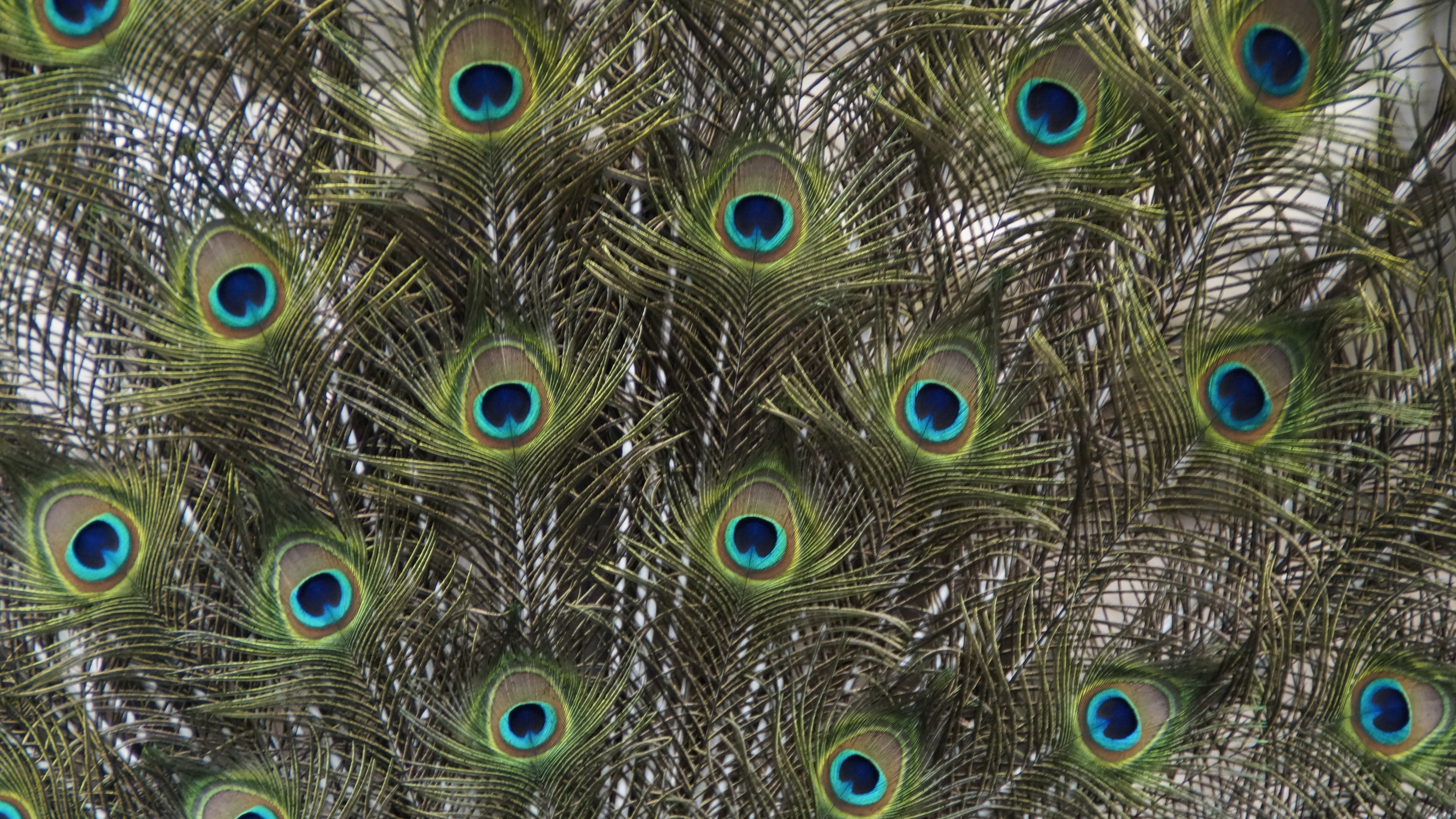 Peacock Feather Wallpaper 59 images  Get the Best HD