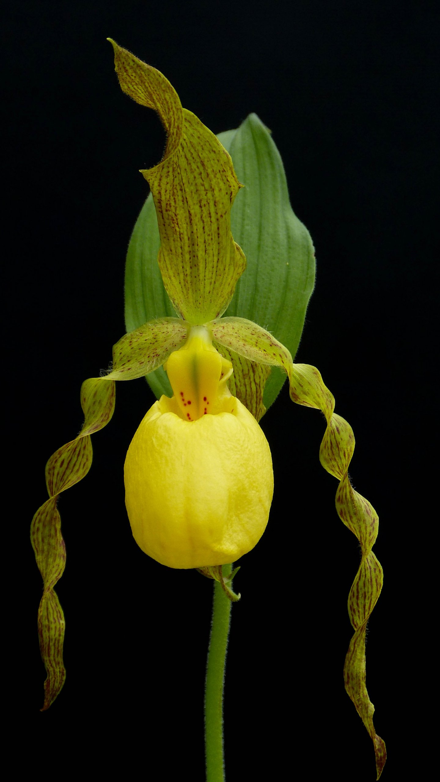 Yellow lady slipper orchid wallpaper mobile desktop background yellow lady slipper orchid mightylinksfo