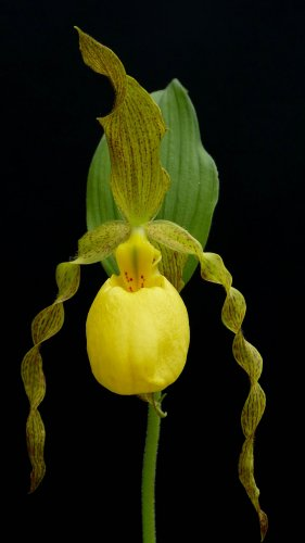 Yellow Lady Slipper Orchid