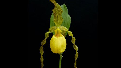 Yellow Lady Slipper Orchid HD Wallpaper
