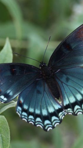 Red Spotted Purple Butterfly Mobile Wallpaper
