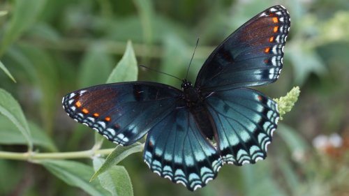Red Spotted Purple Butterfly HD Desktop Wallpaper