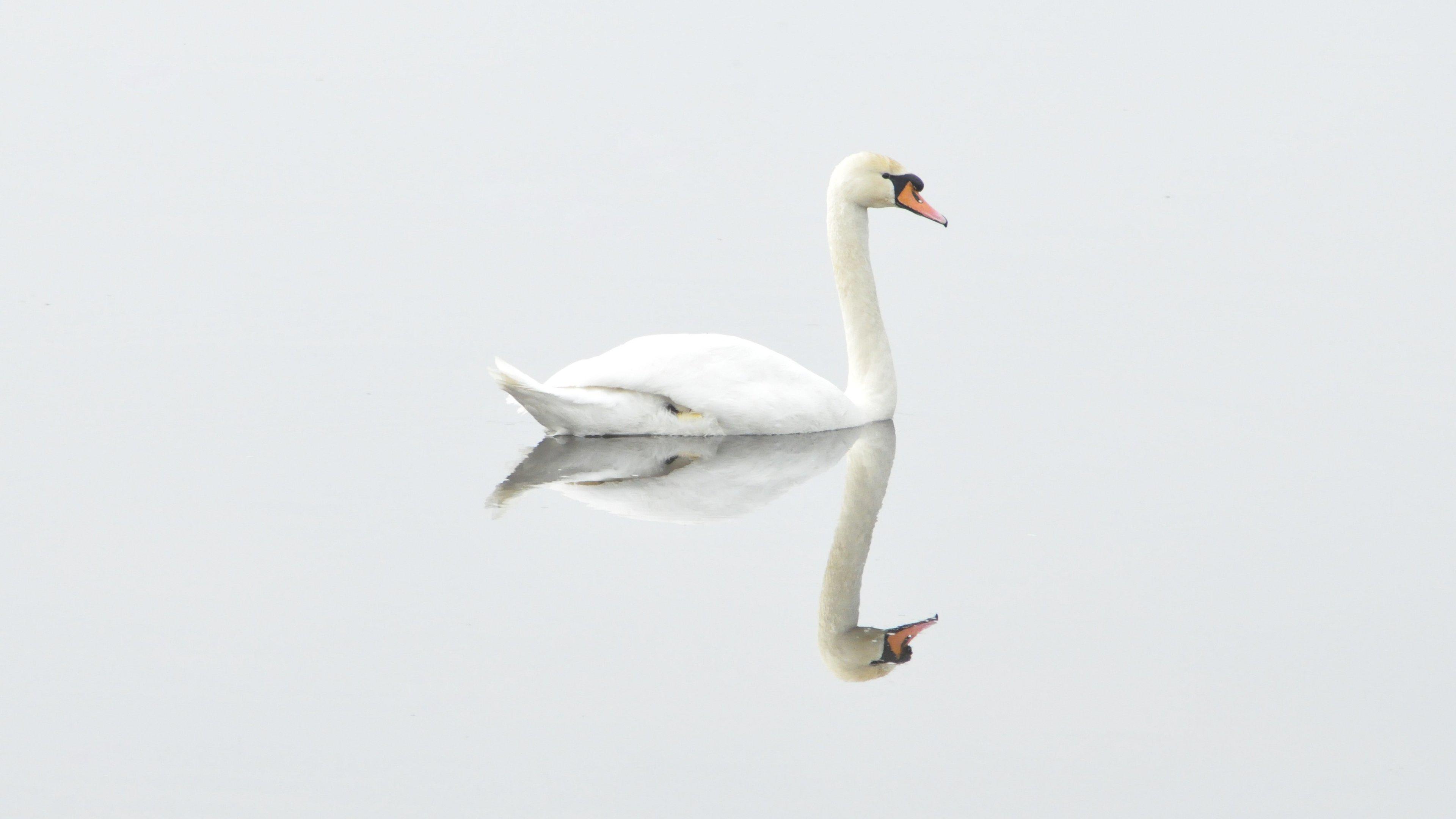 White swan on water wallpaper mobile desktop background - Swan wallpapers for desktop ...