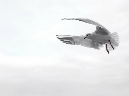 Sea Gull in Flight  Wallpaper