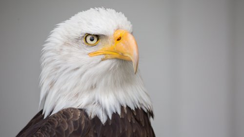 Bald Eagle HD Desktop Wallpaper