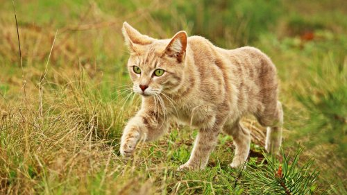Cat Stalking Something HD Wallpaper