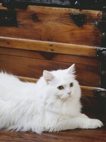 Elegant White Fluffy Cat
