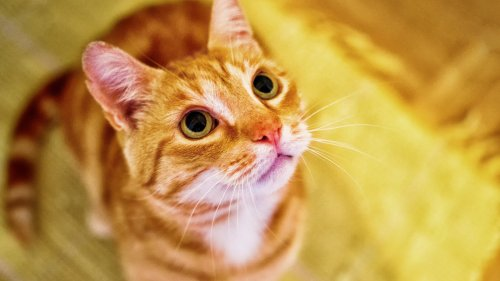 Orange Cat Looking Up Wallpaper