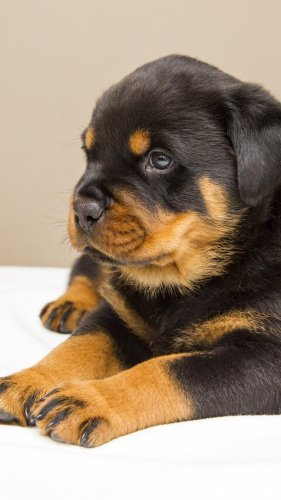 Rottweiler Puppy Mobile Wallpaper