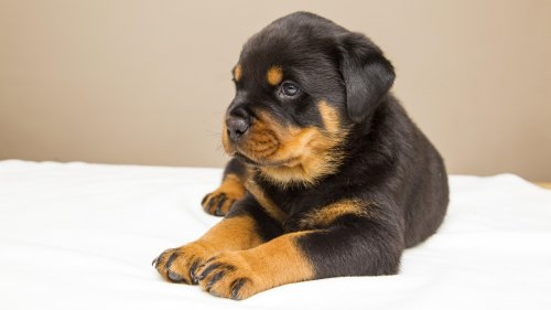 Rottweiler Puppy HD Wallpaper