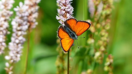 Orange Butterfly HD Wallpaper