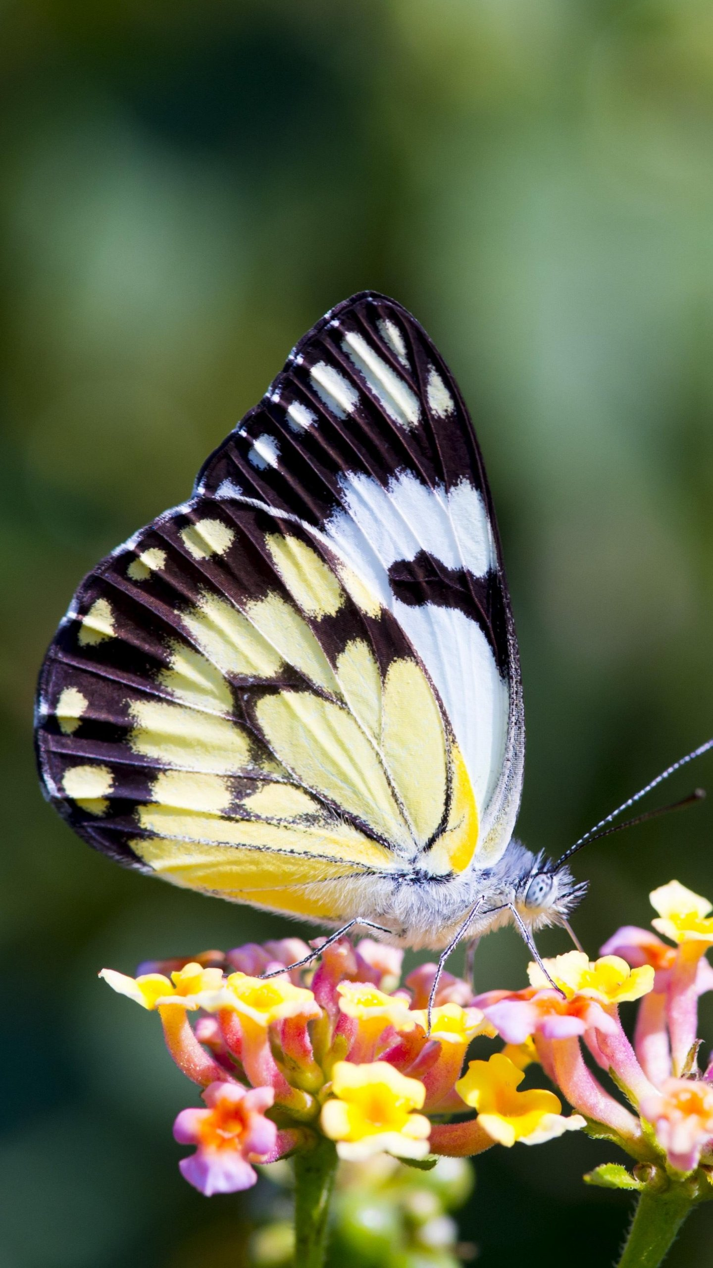 Butterfly On Flower Wallpaper Iphone Android Desktop Backgrounds