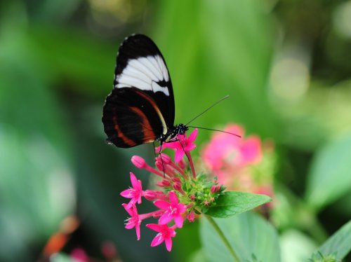 Pretty Butterfly on Pink Flower  Wallpaper