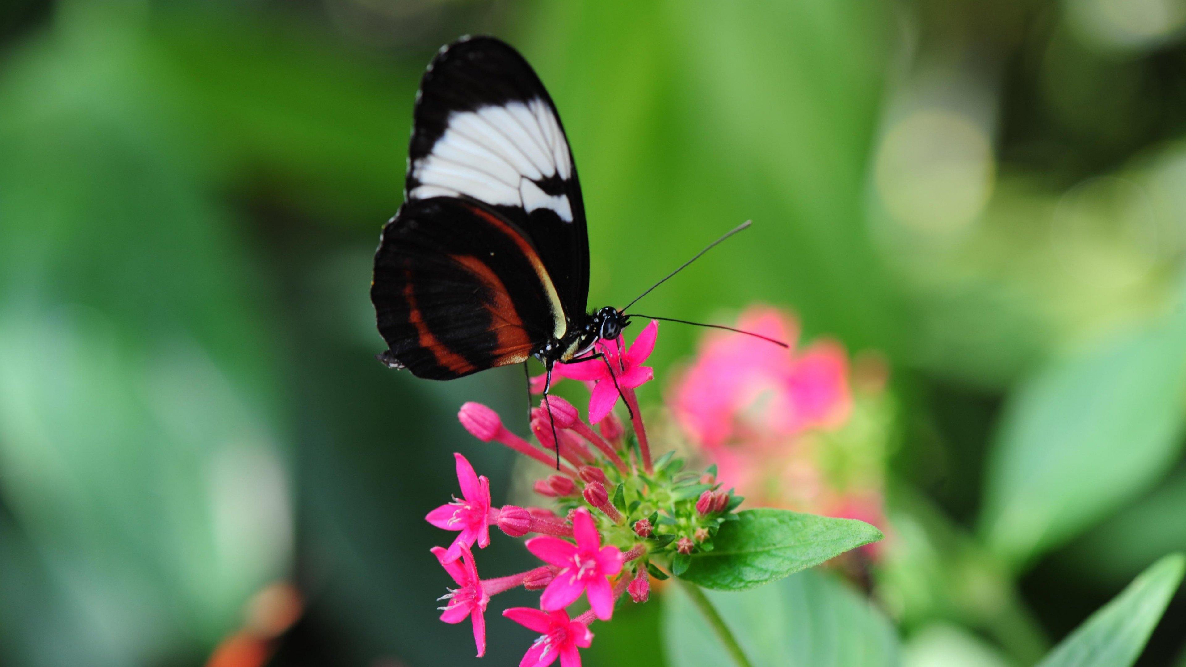 pretty butterfly on pink flower wallpaper - mobile & desktop background