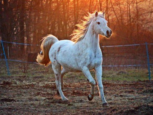 White Arabian Horse  Wallpaper