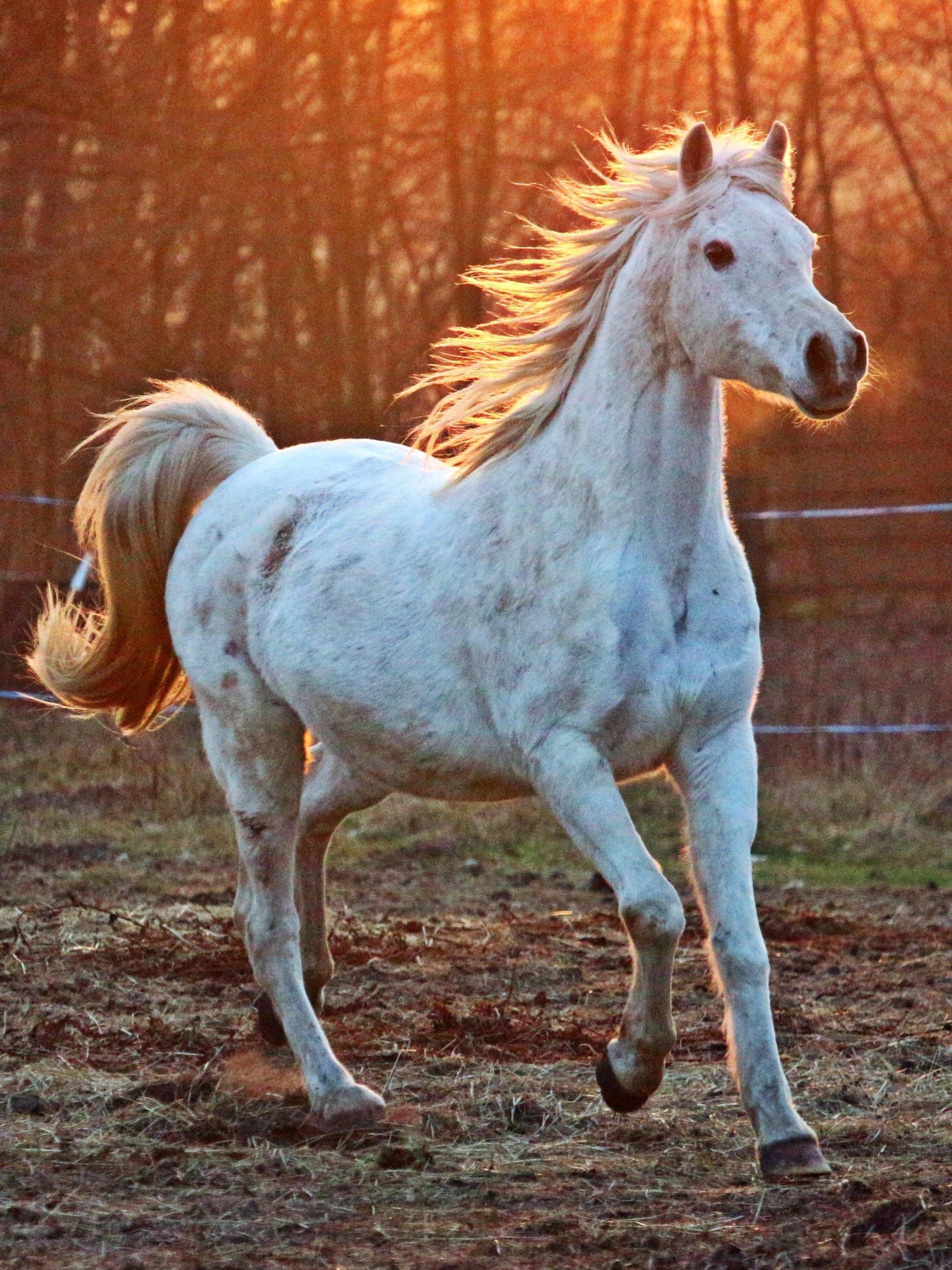 white arabian horse wallpaper - mobile & desktop background