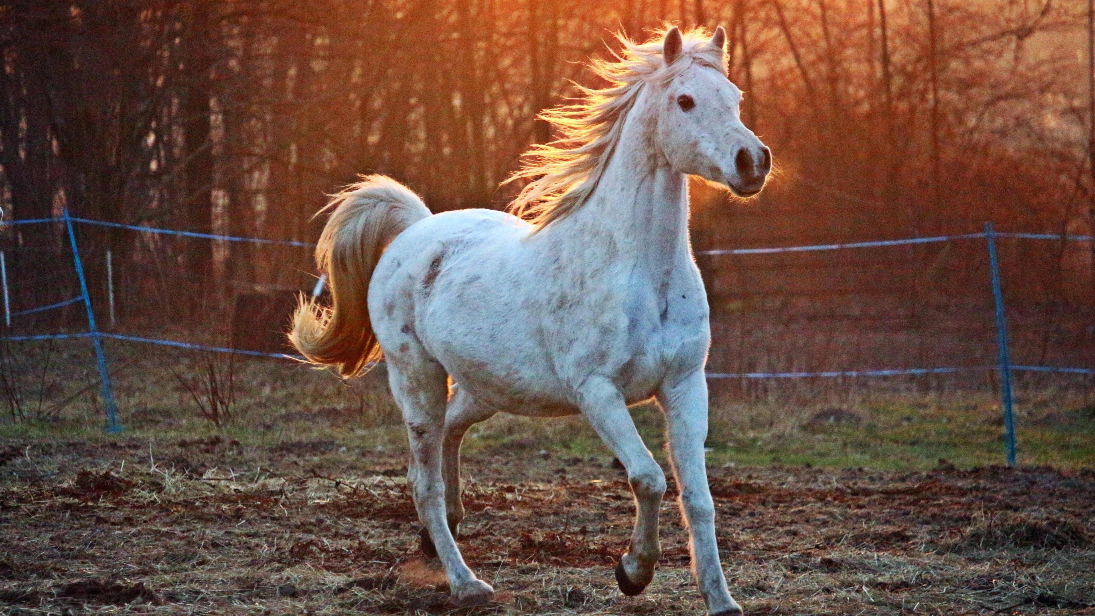 white arabian horse wallpaper