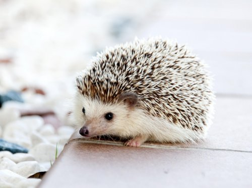 Adorable Hedgehog