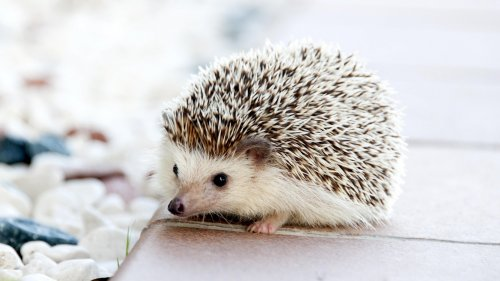 Adorable Hedgehog Wallpaper