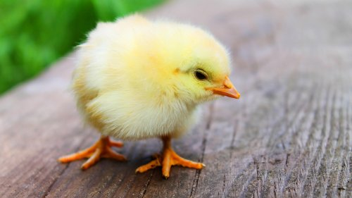 Easter Chick Wallpaper