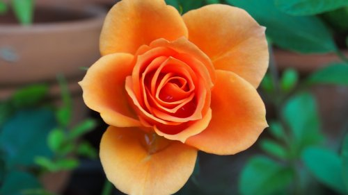 Orange Rose HD Wallpaper