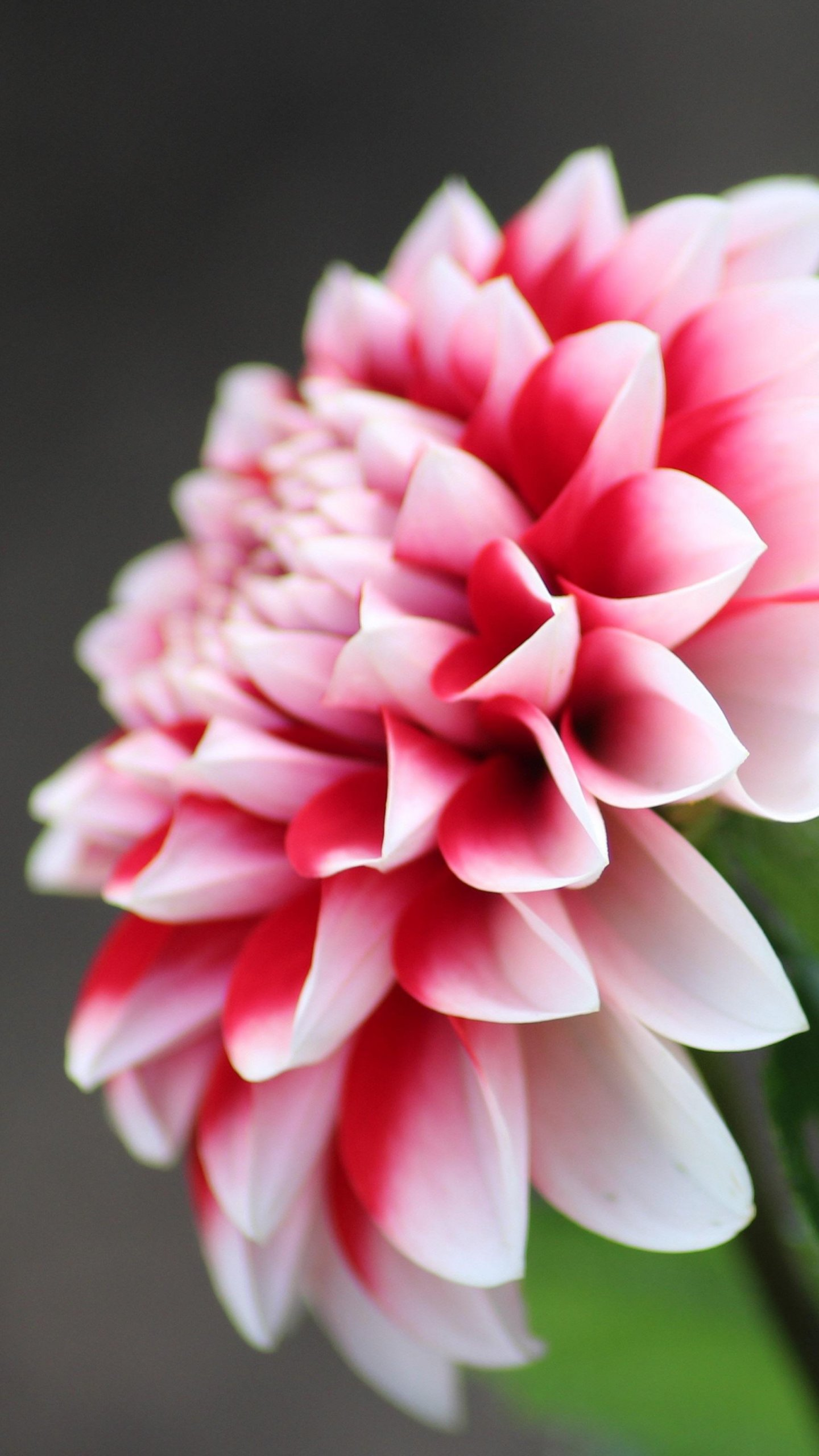Dahlia Flower Wallpaper Iphone Android Desktop Backgrounds