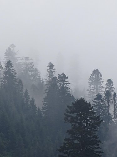 Foggy Trees in Forest