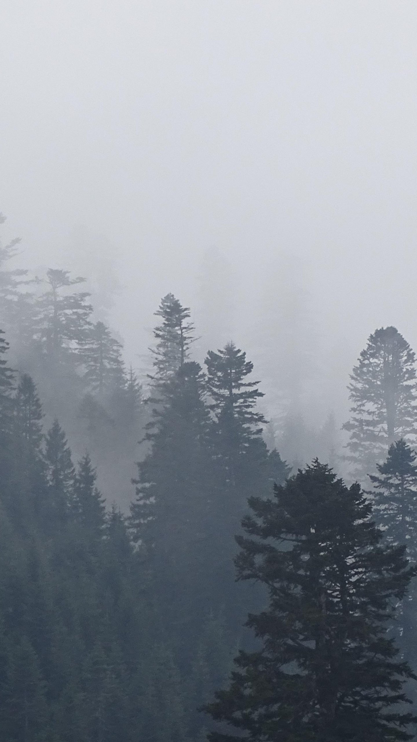 Foggy Trees In Forest Wallpaper Iphone Android Desktop