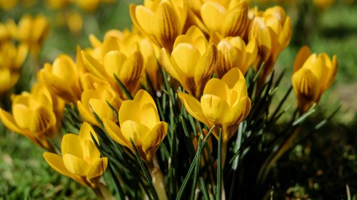 Yellow Crocus Wallpaper