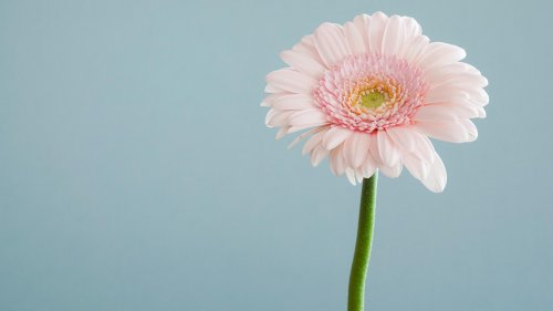 Single Pink Daisy Wallpaper