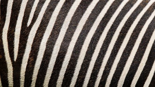 Zebra Texture Wallpaper