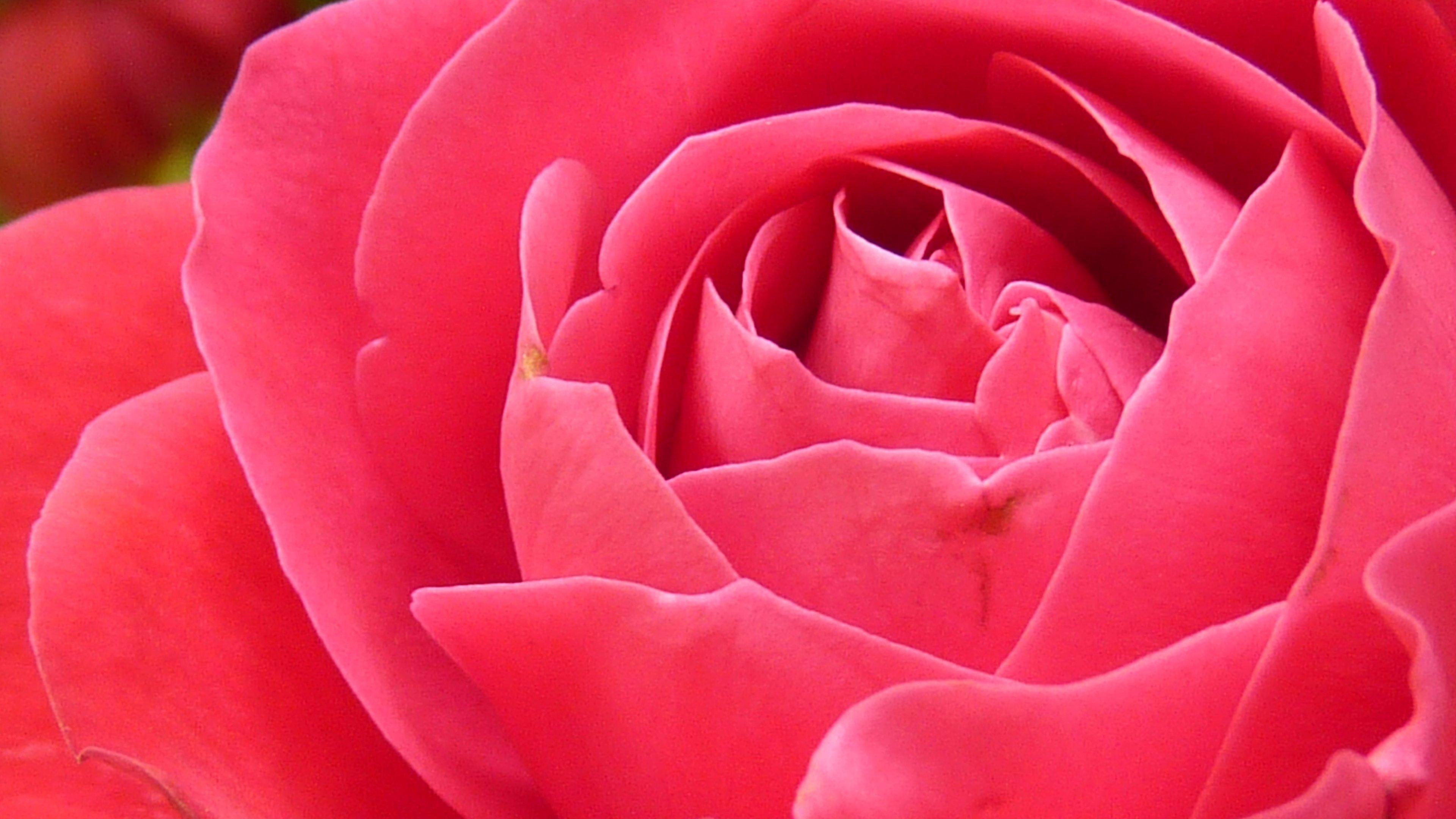 Bright Pink Rose Closeup Wallpaper