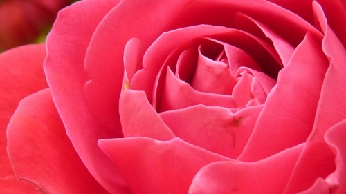 Bright Pink Rose Closeup Wallpaper