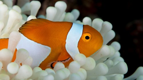 Sea Anemone Fish HD Wallpaper