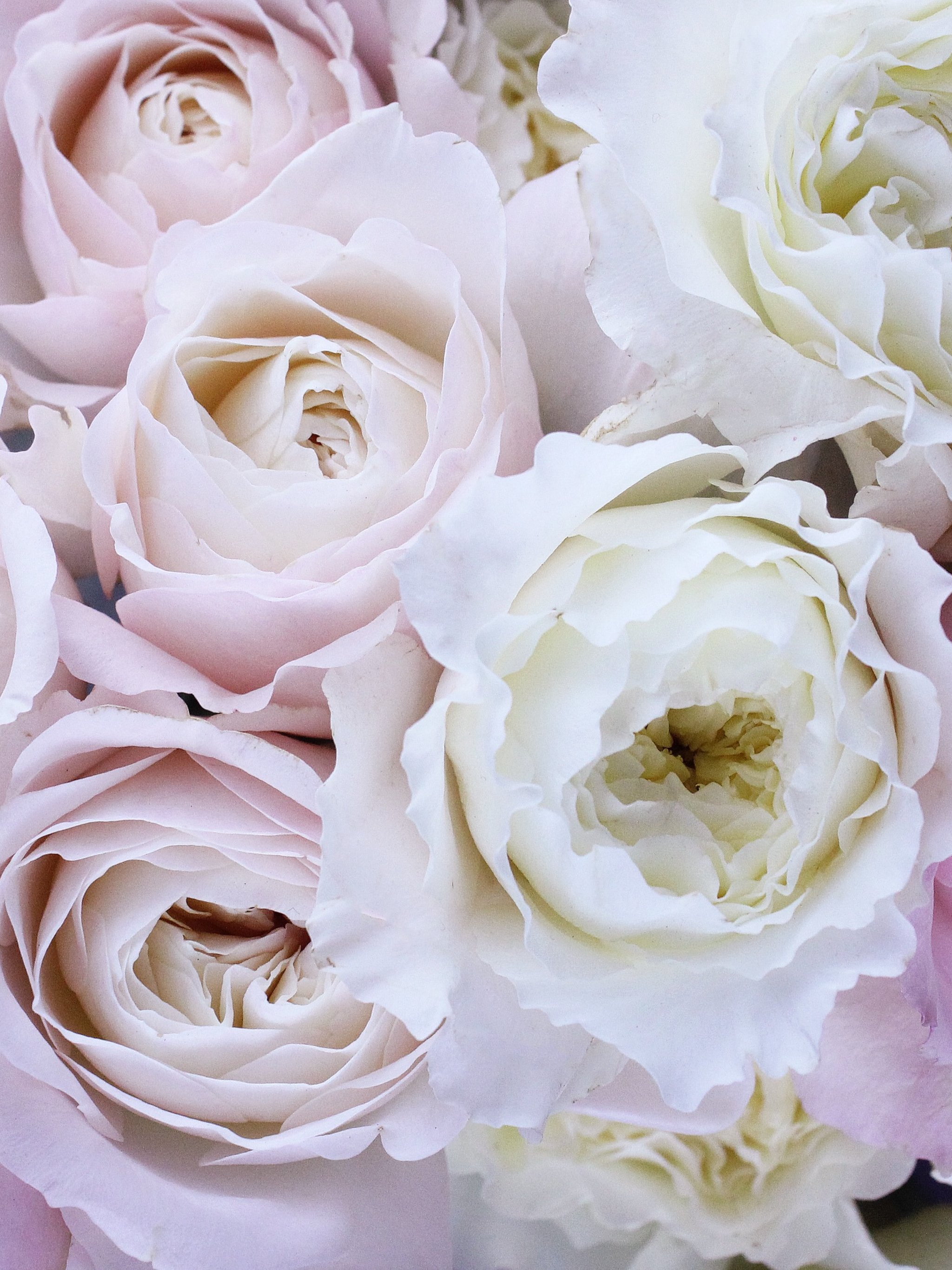 pale pink and white roses wallpaper - mobile & desktop background