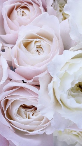 Pale Pink and White Roses Mobile Wallpaper