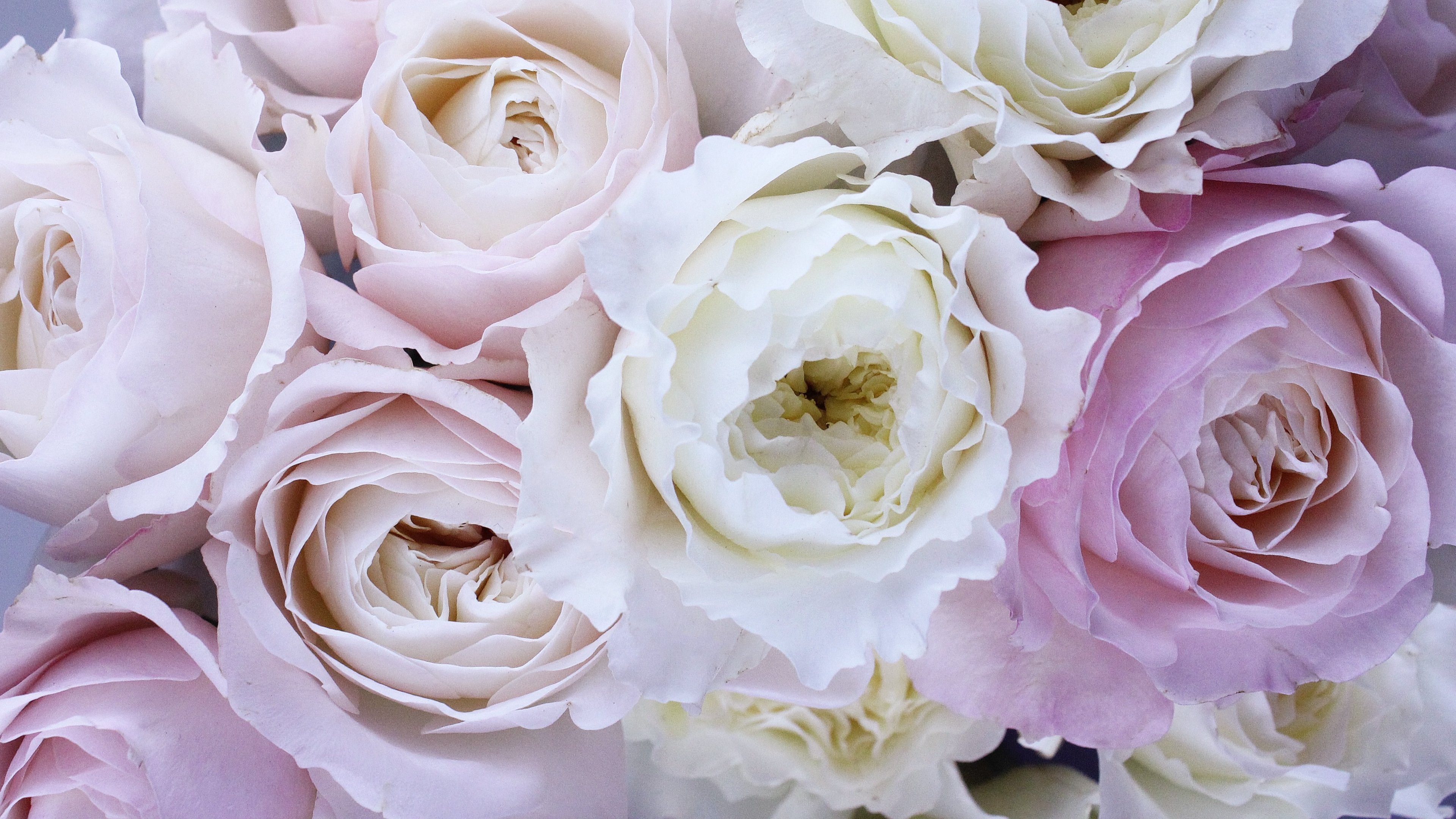 Pale Pink And White Roses