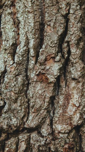 Bark on Oak Tree Mobile Wallpaper