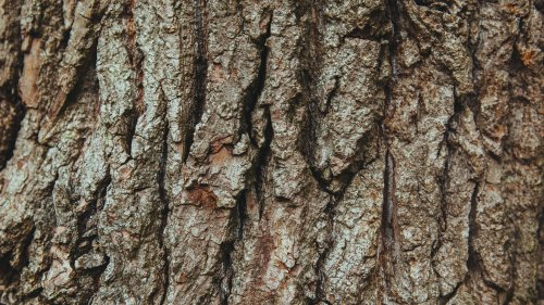 Bark on Oak Tree Wallpaper