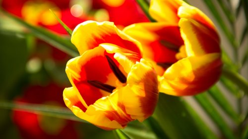 Tulip HD Wallpaper